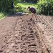 Plantation des bulbes de Safran de Haute Côte d'Or