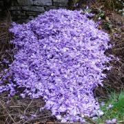 fleurs après émondage