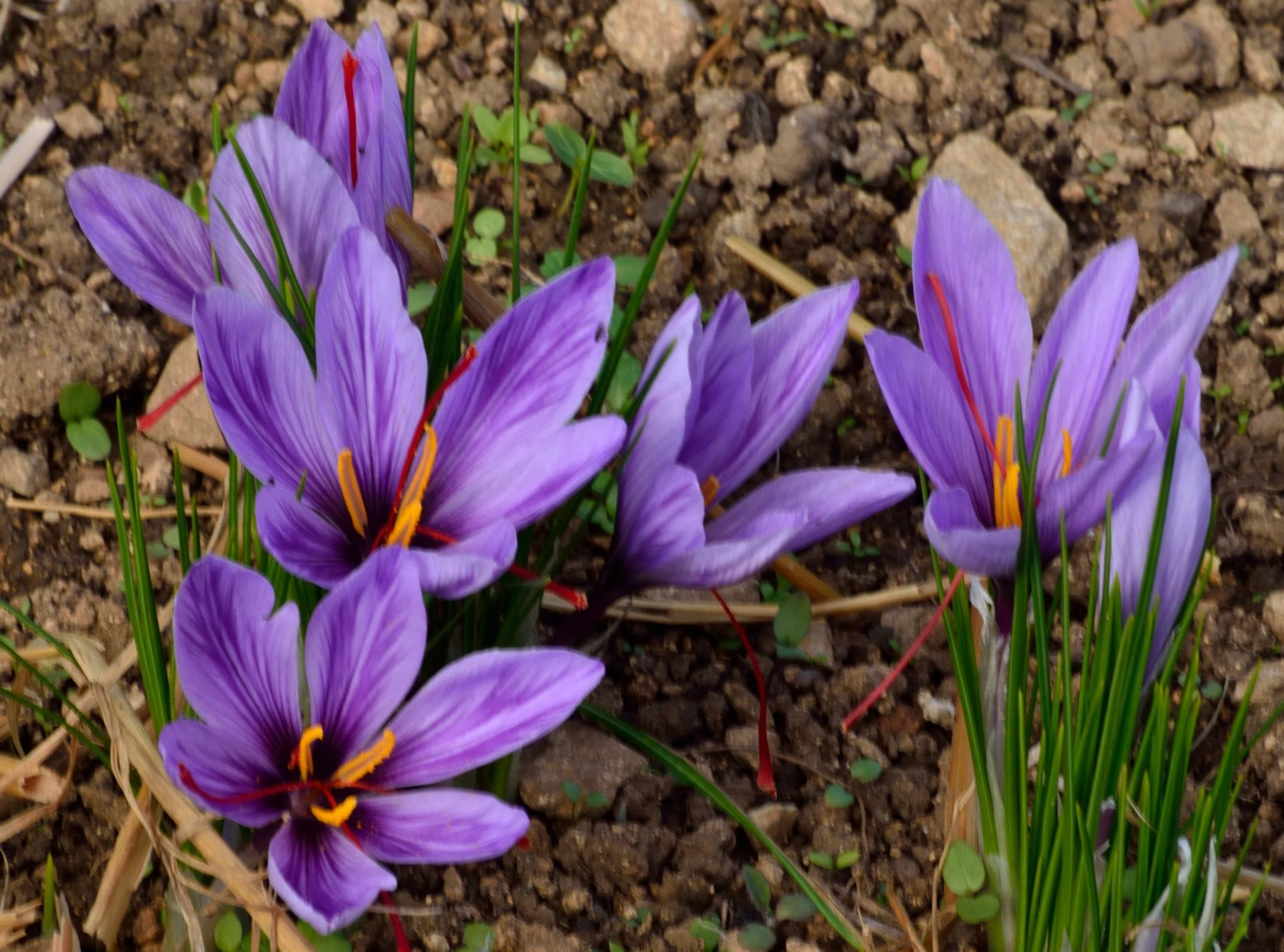 Fleurs de Safran